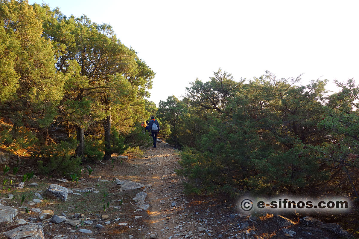Trail with junipers in Natura area