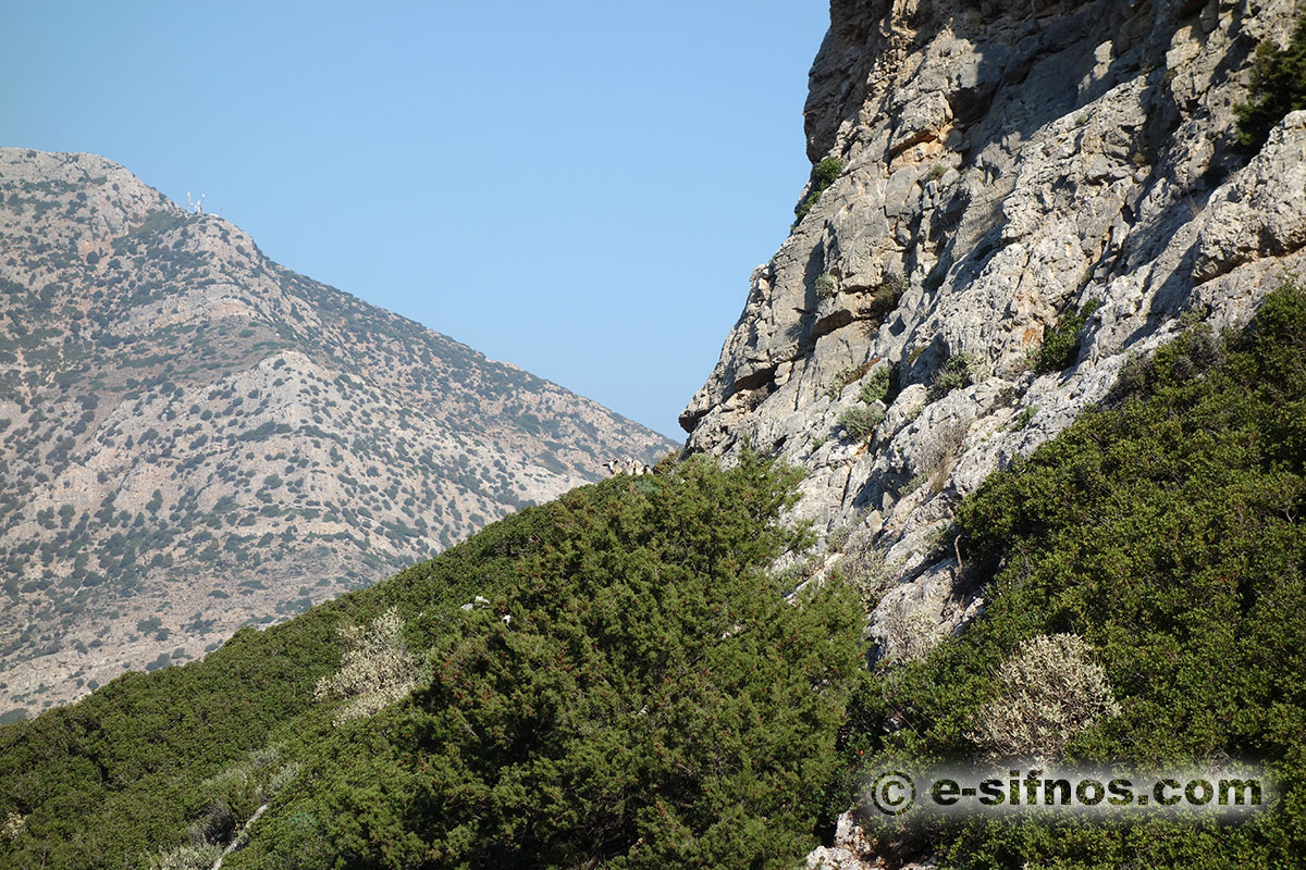 Landscape with junipers and lentisk trees in Sifnos