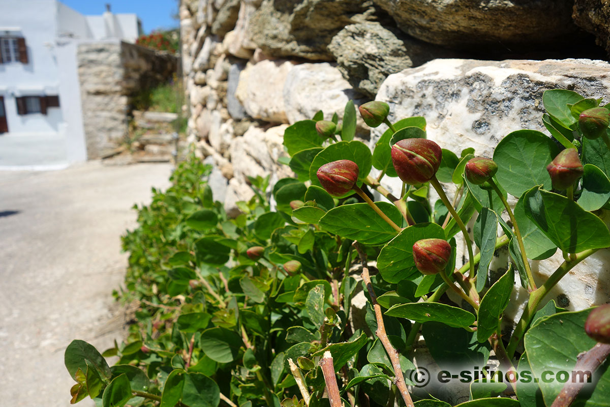 Caper, a plant that you can find everywhere in Sifnos